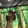 カブトムシが触れちゃう‼︎ スカイツリーの期間限定企画 昆虫展‼︎