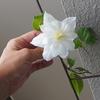 【ベランダ】初心者ガーデナーの奮闘 ベランダのクレマチスが1つだけ咲きました