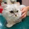 チンチラペルシャ猫ちゃん全員決定!