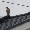 どひゃー(>_<)、この「猛禽類の鳥」は、何っ?
