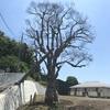 無残に消滅した旧家益田家と東海道のモチノキ(横浜市戸塚区)
