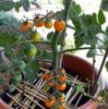 【プランター栽培】いちご、さくらんぼ、トマトの人工授粉