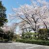 近所の寺の桜
