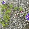 アサガオがまた健気にも2つも咲いた