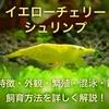 イエローチェリーシュリンプ 飼育も簡単!繁殖・飼い方を詳しく紹介