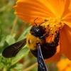 黄花コスモスのクマバチと・・・