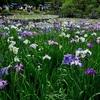 平安神宮の西神苑に咲く花菖蒲。