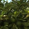 ホームセンターのニンニクの種とスーパーの食用のニンニク・・発芽の違いは・・?