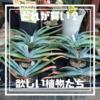 """【どれが""""買い""""でしょうか?】1日がかりで地元園芸店巡った結果欲しい植物をリストアップしてみる"""