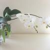 アトリエの胡蝶蘭