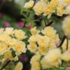 フォトブログ 小さくてかわいいモッコウバラ。堺市浜寺公園の一面のバラが楽しみ。