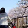 【桜・お花見サイクリング】多摩・稲城市住民がおススメする三沢川の桜のトンネル