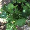 大葉とミニトマトの成長記録③