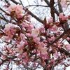 きょうの桜レポート2018【第3回】