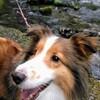 犬の誤飲 実は危ない【口が大きいシェルティの場合】