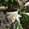 ホスタで最初の開花はフランシーでした
