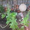 【家庭菜園】青チマサンチュ、とうが立ちました。その他、雑感。