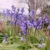 春の風物詩ブルーベルを堪能