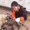 【羊さん大量放置】チベット族の少女が6000頭の羊を野生に返すという出来事が発生