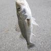 木曽三川 アオイソメでセイゴを釣り、刺身でいただく
