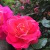 春風も盛りを越えピンクから赤みが増す 2016/05/26