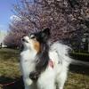 隅田川土手の大寒桜で花見の散歩