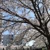 お花見ですよ #osaka   #茨木市 #サクラ #お花見