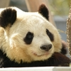 パンダの祖先は白クマ!?黒クマ!?驚きのビジュアルを大公開!