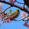 大磯運動公園の河津桜(2020.2.27)と現在の箱根・大涌谷の様子(2020.2.28)