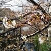 「第8回 郷さくら美術館 桜花賞展」の桜の絵と、目黒川のリアル桜でお花見する