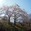 満開の身延の桜