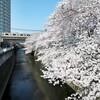 20℃オーバーの気温の中、東中野の桜を愛でる