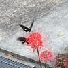 彼岸花に黒アゲハはイイネ( ^ω^ )