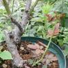 2011/09/19 台木から芽
