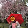 小雨の中の桜見ウォーキングというより、赤味噌ウォーキング(笑)