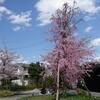 京都 嵐山の桜~1