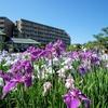 東京の菖蒲を巡ってきた(しょうぶ沼公園、堀切菖蒲園など)
