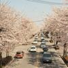 鹿沼市さつき大通りの桜並木が満開の見ごろを迎える。