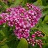 紅色のシモツケの花