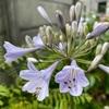 🌸アガパンサス開花🌸