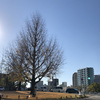 すっかり落葉した平和大橋の銀杏の木、澄んだ青空の初冬の昼下がりです。