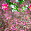 咲き誇るサザンカ:今日は小寒