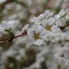 雪柳の花言葉