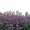 ラベンダー祭りより世紀公園にいくべき!:上海