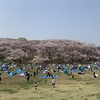 大岡川と根岸森林公園の花見