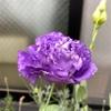 【おまけ】トルコギキョウ開花🌸