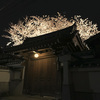 光徳寺の桜ライトアップを見上げる@2019