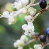 ヤブミョウガの青い果実 Pollia japonica