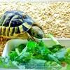 リクガメに小松菜は定番