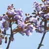 今日の誕生花「キリ」嫁に持たせる家財道具の木!